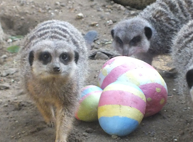 Meerkats with Easter eggs