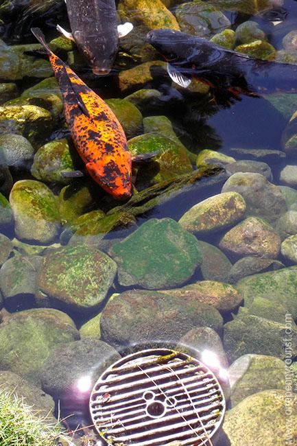 A Koi Fish in the pond at the Japan Pavilion in Epcot - and a little extra something too - spot the Hidden Mickey!