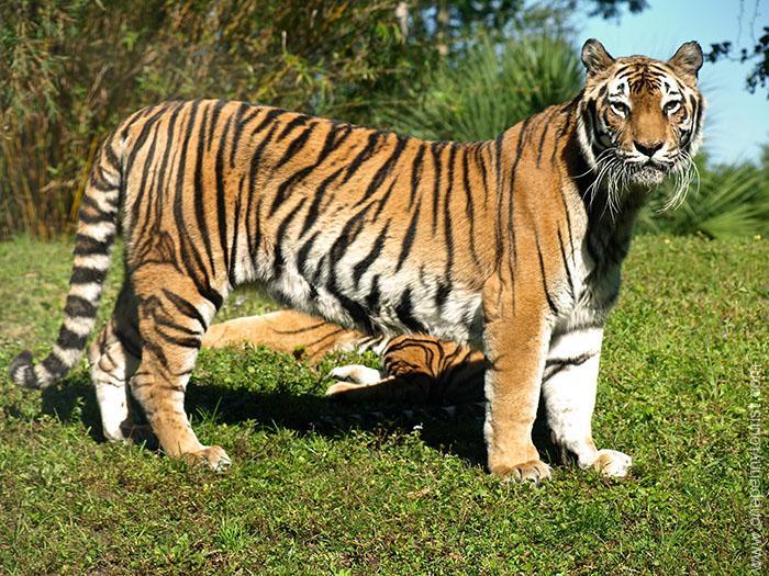 Disney Wordless Wednesday - Nature. A Tiger on the Maharajah Jungle Trek at Disney's Animal Kingdom
