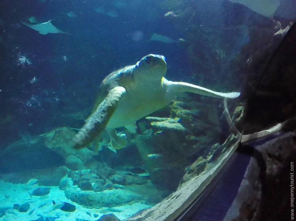 Boris the Green Turtle at the Sealife London Aquarium. OnePennyTourist.com