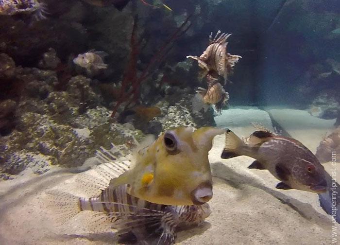 A fascinating Cow Fish at the Sealife London Aquarium. OnePennyTourist.com