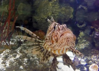 A Lion Fish at the Sealife London Aquarium. OnePennyTourist.com