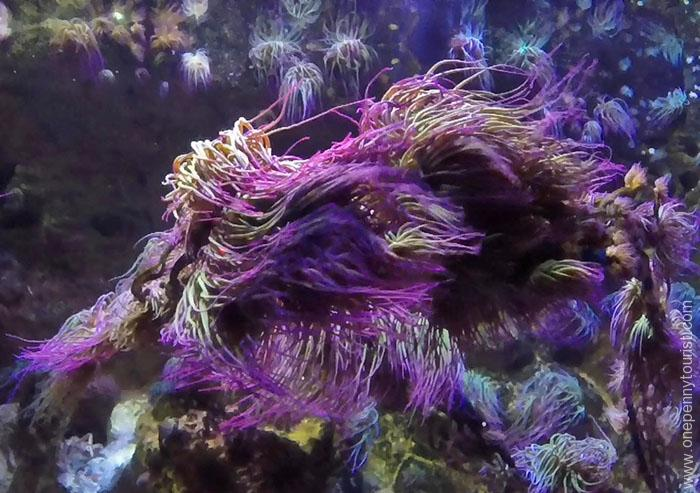 Purple Anemone at the Sealife London Aquarium. OnePennyTourist.com