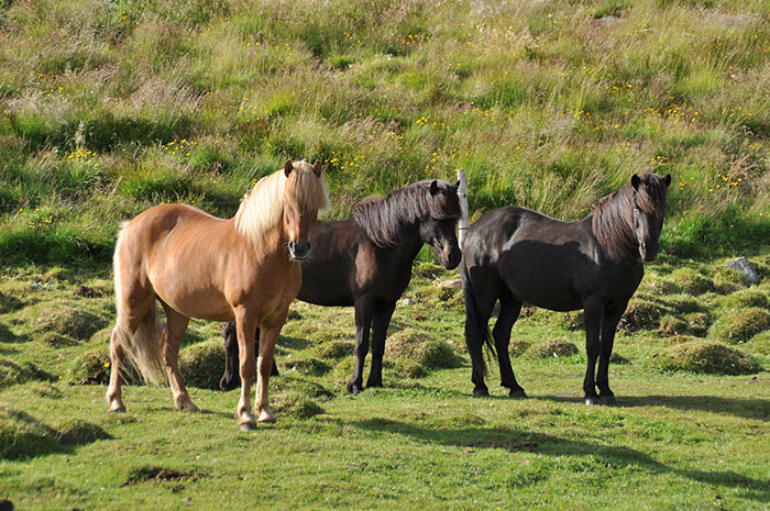 Icelandic Horse, sometimes referred to as ponies, are unique to Iceland. Trivia: If they leave the country they can never come back! A bit off topic as I'm actually talking about 5 Great Places In Europe To View The Northern Lights. OnePennyTourist.com